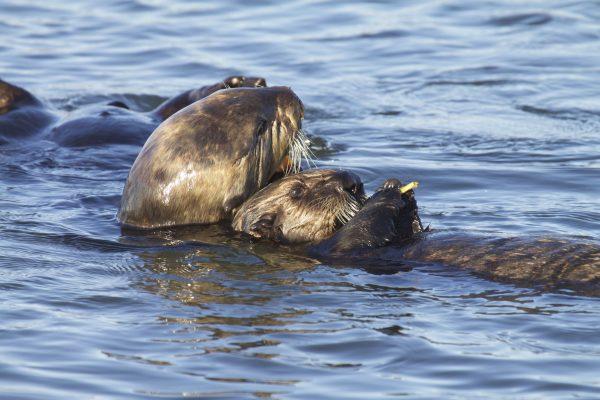 Saving sea otters: Continued threats