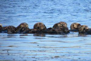 Saving sea otters: Sharing a trophic cascade