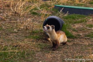 [Image] A BFF at ferret boot camp, training for its release into the wild.