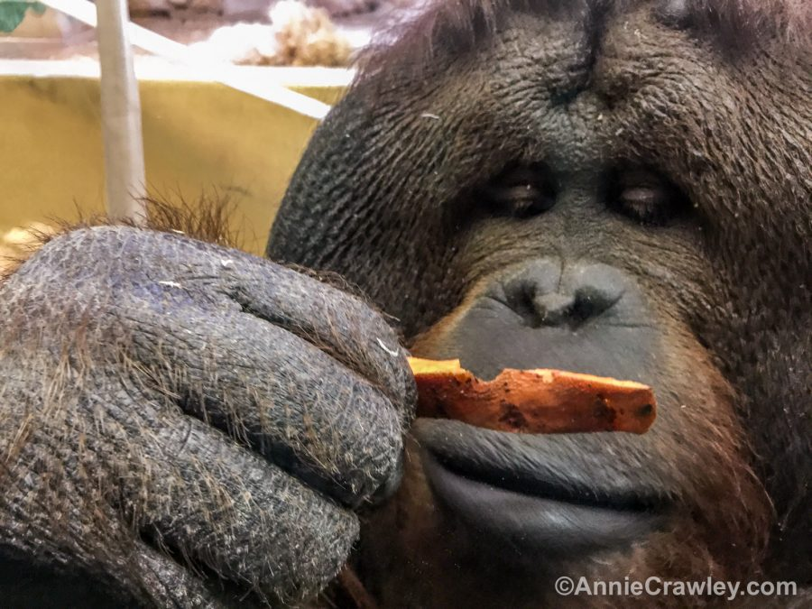 Annie-Crawley-iOrangutan CM Zoo-8120