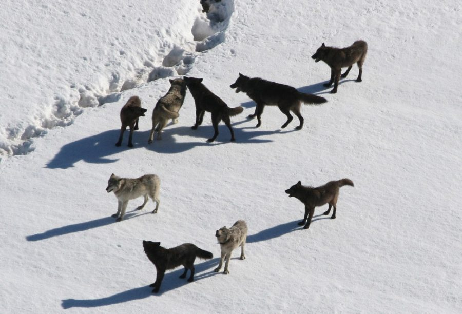 Gibbon wolf pack standing on snow; Doug Smith;