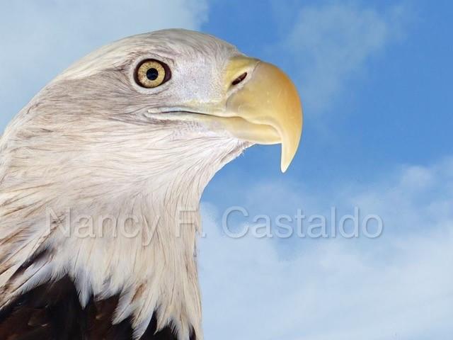 Bald eagle by Nancy Castaldo