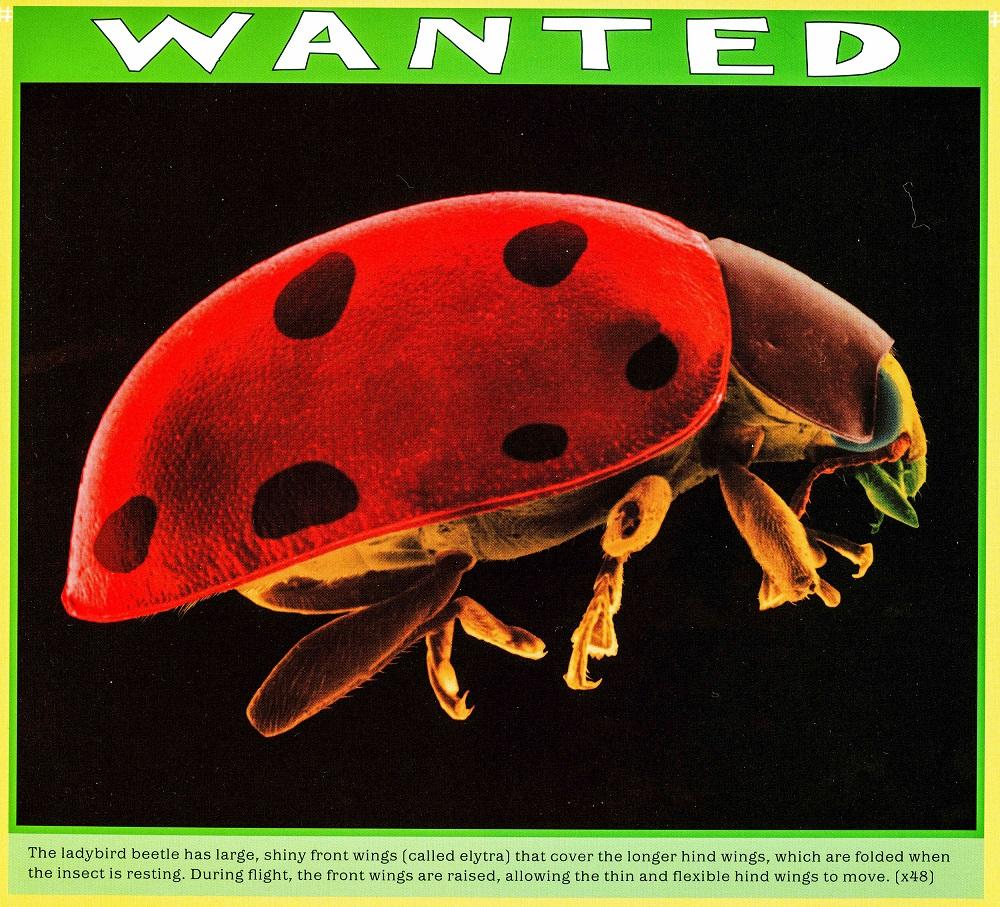 ladybird beetle (x48) lowres