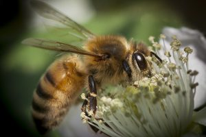"""""""July Honey Bee"""" by MattX27 is licensed under CC BY-SA 2.0"""