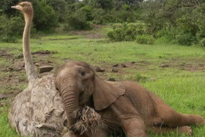 ostritch-elephant - wonder