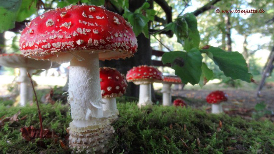 Fly agaric mushrooms, Netherlands