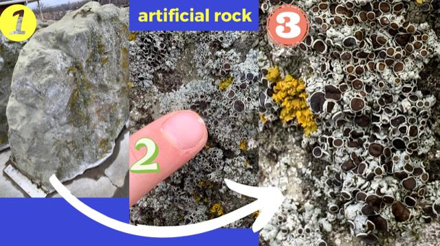 Lichen on artificial rock