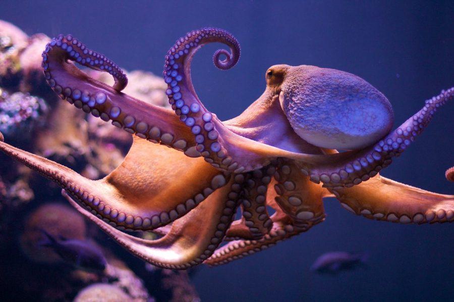 octopus-3658339290_867371ea49_b.jpg