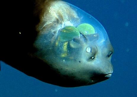 Barreleye Fish with see-through head