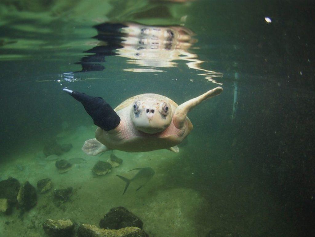 LOLA photo credit_ Key West Aquarium