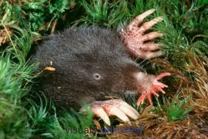 tar-nosed-mole-5153365977_b8e8b14a5c